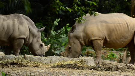 носорог : wild Rhinoceros in the zoo Стоковые видеозаписи