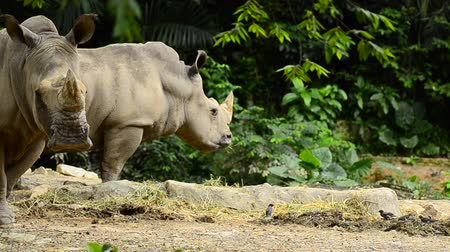 greater : wild Rhinoceros in the zoo Stock Footage