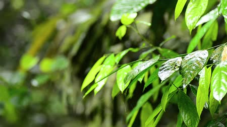 hava durumu : closeup footage, rain droplets to a leaves in a tropical rain forest Stok Video