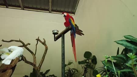 arara : White and Beautiful Red Parrot Scarlet Macaw bird perched on metal stand