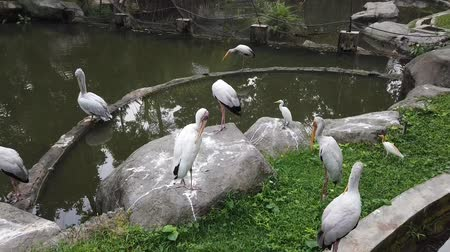 cigüeñas : Milky Stork (Mycteria Cinerea) in the park. This species is highly protected in Malaysia. Archivo de Video