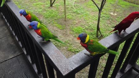 papagaio : Beautiful Rainbow Lorikeet (Trichoglossus moluccanus) birds, perched on the metal handrail Stock Footage