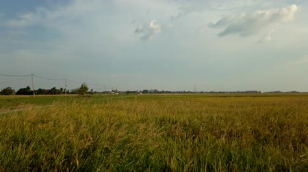 stonky : Timelapse footage of green field with rice stalks swaying in the wind blows. Dostupné videozáznamy