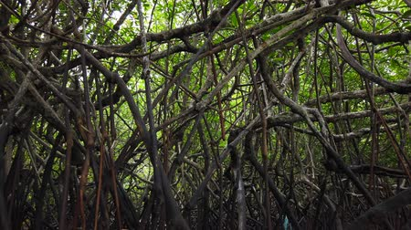 mangue : Timelapse footage, tropical virgin mangrove forest near the seashore