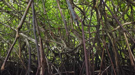 mangrovia : Timelapse footage, tropical virgin mangrove forest near the seashore