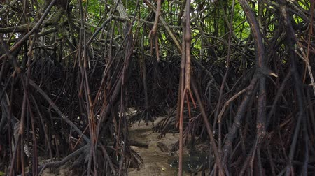 gyertyafa : Timelapse footage, tropical virgin mangrove forest near the seashore