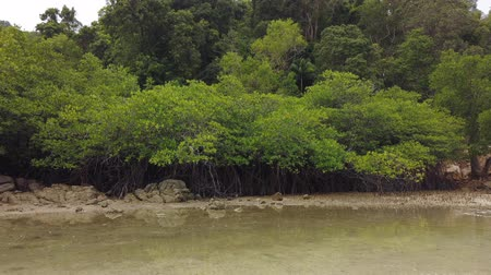 radici : Timelapse footage, tropical virgin mangrove forest near the seashore