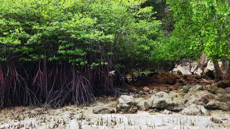 девственница : Timelapse footage, tropical virgin mangrove forest near the seashore