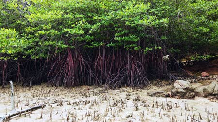 mangrove trees : Timelapse footage, tropical virgin mangrove forest near the seashore