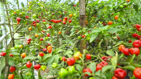 habanero : Video footage of chili tree in the garden with chilli ready to harvested