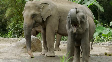 толстокожее животное : Video footage of a cute elephant showing his mouth at the zoo. Elephants are large mammals of the family Elephantidae and the order Proboscidea.