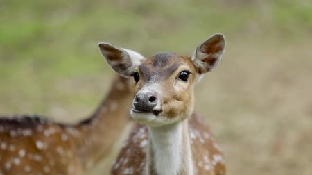 munch : Video footage of female sika deer looking at the camera while chewing something at the zoo
