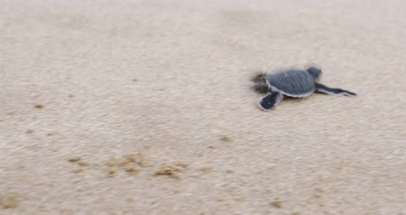 rescue : Little sea turtle walking toward the sea on the sandy beach at Pangumbahan beach, Sukabumi, West Java, Indonesia. Shot in 4k resolution