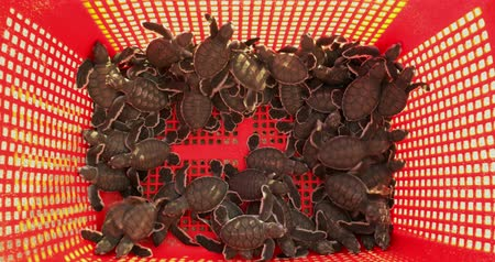 hatch : Closeup of little sea turtles or hatchling in a container, ready to released on the Pangumbahan beach, Ujung Genteng, Sukabumi, West Java, Indonesia. Shot in 4k resolution Stock Footage