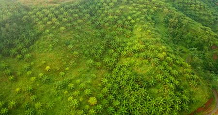 palm oil plantation : Beautiful drone view of lush palm oil plantation on misty morning at Sukabumi, West Java, Indonesia. Shot in 4k resolution Stock Footage