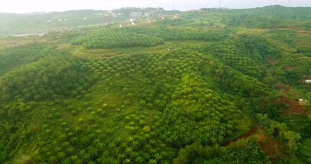 palm oil plantation : Stunning aerial view of green palm oil plantation from a drone flying on misty morning at Sukabumi, West Java, Indonesia. Shot in 4k resolution