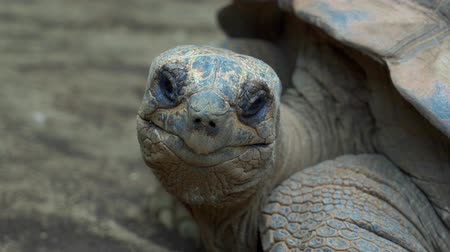 gigante : Closeup of Aldabra Tortoise or Aldabrachelys Gigantea at Batu Screet Zoo, Malang - East Java, Indonesia. Shot in 4k resolution Stock Footage