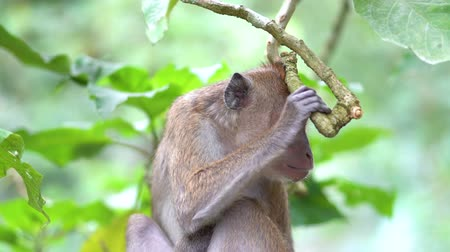 long tailed macaque : Brown wild monkey sitting on the tree branch at the park. Shot in 4k resolution