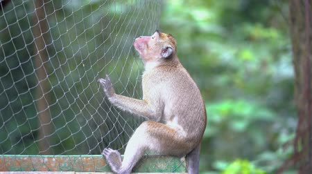 monkey : Brown wild monkey sitting on the nets at the park. Shot in 4k resolution