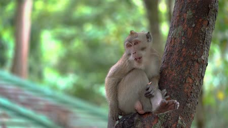 long tailed macaque : Wild monkey sitting on tree branch while eating something at the park. Shot in 4k resolution