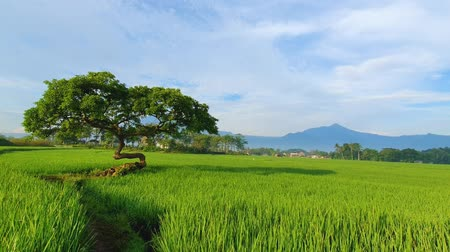 yemyeşil bitki örtüsü : Green rice field with a tree and clear sky on the morning Stok Video