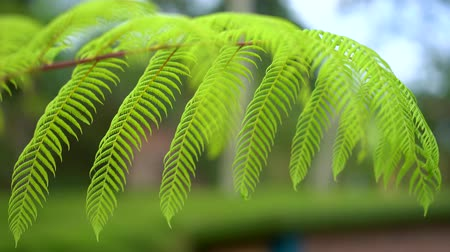 botanik : Closeup of growing green fern leaves at the tropical forest. Shot in 4k resolution Stok Video