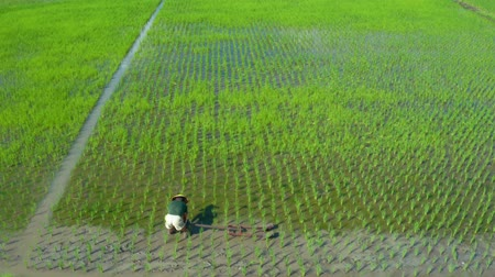 yemyeşil bitki örtüsü : Central Java, Indonesia - July 08, 2019: Aerial view of male farmer working on green rice fields with traditional tool. Shot in 4k resolution Stok Video