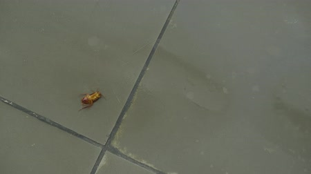 haldokló : Female hand killing a cockroach with insecticide spray on the floor at home. Shot in 4k resolution