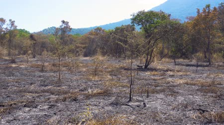 banyuwangi : Burnt forest during dry season in Baluran National Park at East Java, Indonesia. Shot in 4k resolution Stock Footage