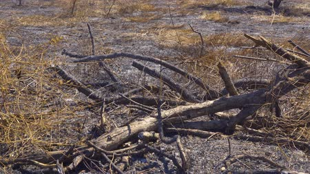 bush fire : Burnt tree branches on the dry grassland during dry season in Baluran National Park at East Java, Indonesia. Shot in 4k resolution
