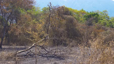 banyuwangi : Bushes and trees burned during dry season in Baluran National Park at East Java, Indonesia. Shot in 4k resolution Stock Footage