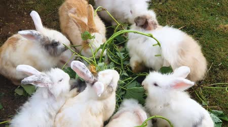 rabbit ears : Herd of white rabbits enjoying fresh vegetable on the meadow. Shot in 4k resolution