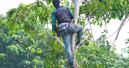 vágás : JAKARTA, Indonesia - September 10, 2019: Man cutting trees branches with a machete and climbing down. Shot in 4k resolution