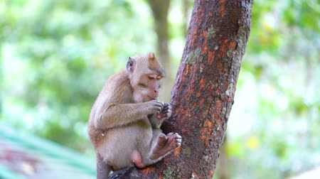long tailed macaque : Wild monkey sitting on the tree while eating something. Shot in 4k resolution