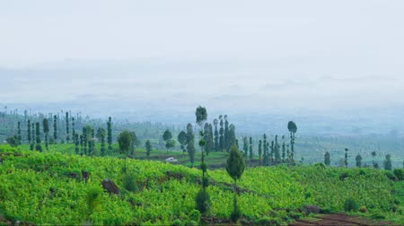 高地 : Beautiful time lapse of plantation highland with green plants and fog at the morning