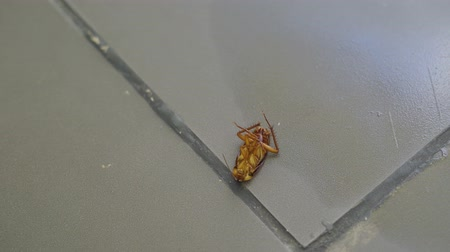 dögvész : Dying cockroach moves his legs while lying down on the floor. Shot in 4k resolution