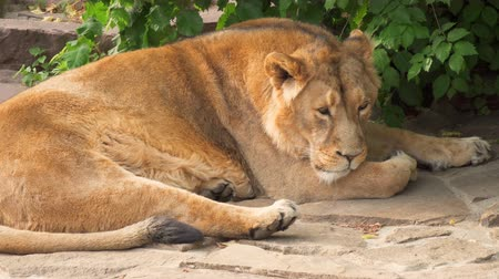 gato selvagem : Big furry tired sleepy male lion king of beasts lying relaxing after meal on the rocks in national park.