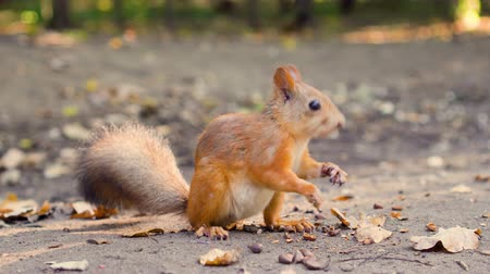 gnawer : Cute hungry red squirrel with furry fluffy tail sitting on ground eating cedar nuts. Sunny autumn day Stock Footage