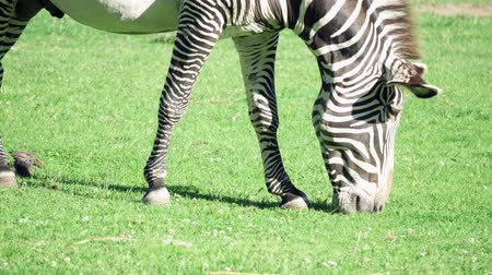 kenia : Close up of african zebra in savannah. Zebra eating green grass in national park. Wild life outdoors.