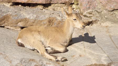 goatling : Cute little wild goatling with small horns laying on rocks in mountains. Baby yeanling relaxing outdoors