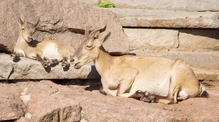 goatling : Cute little goatling and mother goat with big horns laying on rocks in mountains. Wild goat family relaxing outdoors Stock Footage