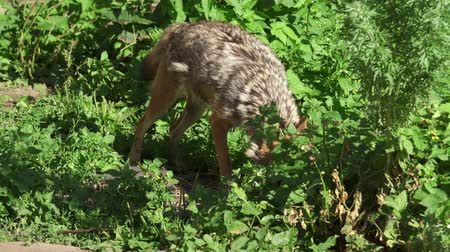 lobo : Hungry wild golden jackal sniffing bushes in forest. Canis aureus golden wolf hunting in national park. Two jackals in wild nature Stock Footage