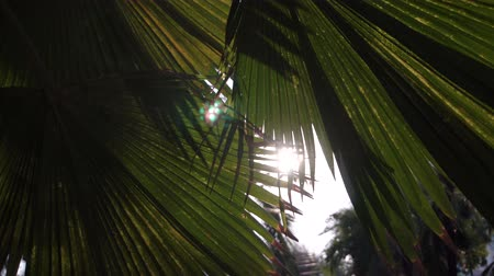 through leaves : Sunset in asian park. Sun shining through big green leaves of palm trees. Gentle breeze swinging palm leaves in Lumpini park, Bangkok, Thailand