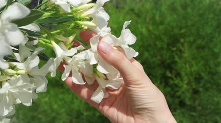 sentido : Woman holding white beautiful flower in hand. Female hand touching blossoming tree in slow motion on sunny summer day