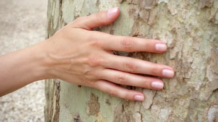 кора : Woman sliding hand along big old sycamore in slow motion. Female hand touching green crust surface of platan tree trunk