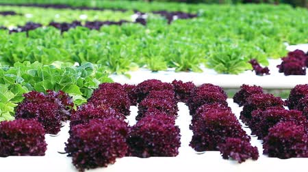 marul : Hydroponics method of growing plants using mineral nutrient solutions, in water, without soil.