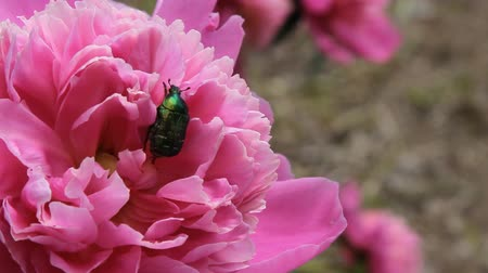 peônia : By red flower the peony is crawling chafer. Green insect beetle. Vídeos