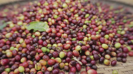 black coffee : Selecting coffee beans after drying