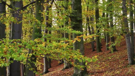 oak forest : Autumn forest Stock Footage