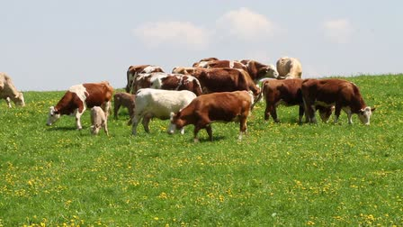 dairy animal : Dairy cows in pasture